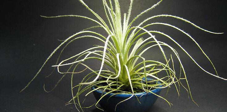 Tillandsia Tectorum - Easiest Houseplant Ever