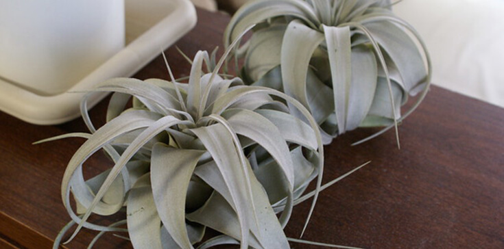 Tillandsia Xerographica - One of the easiest houseplants ever